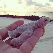Albino turtle hatchling, Vamizi Island, Mozambique Photo: Joana Trindade, Vamizi Island