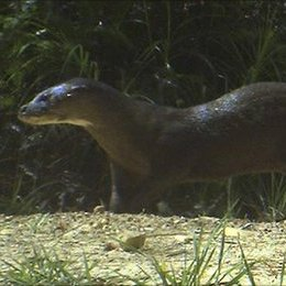 A hairy-nosed otter recorded again in the Deramakot Forest Reserve in Sabah, Borneo ((Photo © CONCASA)