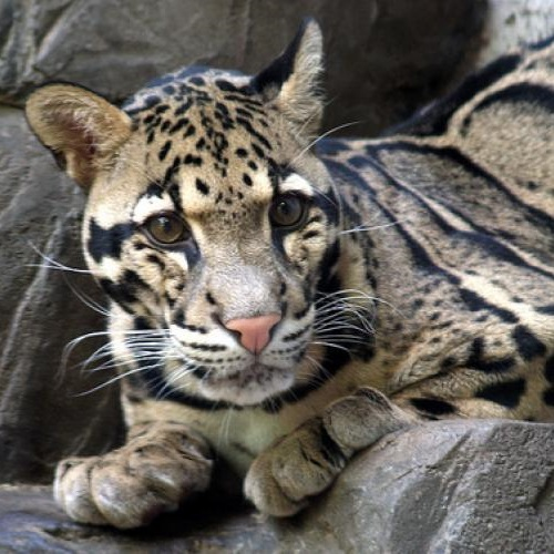 Clouded Leopard by David Ellis (CC BY-NC-ND 2.0)
