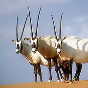 Arabian Oryx  Photo: © David Mallon