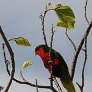 Henderson lorikeet (Photo: Richard Cuthbert, RSPB)