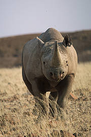 Black Rhinoceros (Diceros bicornis). Photo: IUCN Photo Library/Sue Mainka