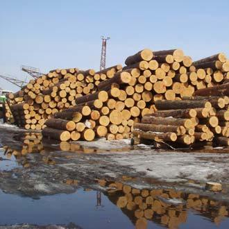 Russia has put in place measures to prevent illegal logging of Korean Pines (Photo © TRAFFIC)