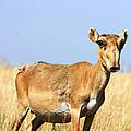 Female Saiga Antelope. Photo © Navinder Singh.