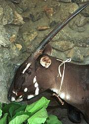 Female Saola (Pseudoryx nghetinhensis), Lak Xao, Bolikhamxay Province, Laos, 1996. Photo: William Robichaud