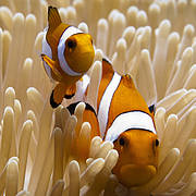 Clown anemone fish (Amphiprion ocellaris). Photo: Natascia Tamburello