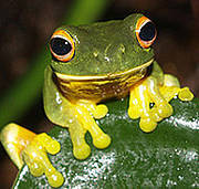Orange-eyed green tree frog. Photo: http://www.flickr.com/photos/rainforest_harley/