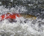 Sea Run Taimen. Photo © Wild Salmon Center.