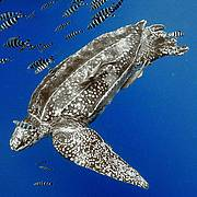 Leatherback turtle swimming amongst fish. Photo: Guy Marcovaldi/IUCN