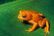 Golden toad, Incilius periglenes (Photo: public domain)