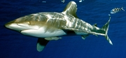 Oceanic Whitetip Shark (Carcharhinus longimanus) - Vulnerable Photo: Jeremy Stafford-Deitsch