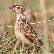 Liben Lark (Heteromirafra sidamoensis) Photo © Greg Davis