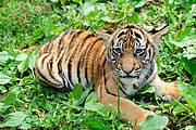 Malayan tiger cub Photo © Julie Larsen Maher