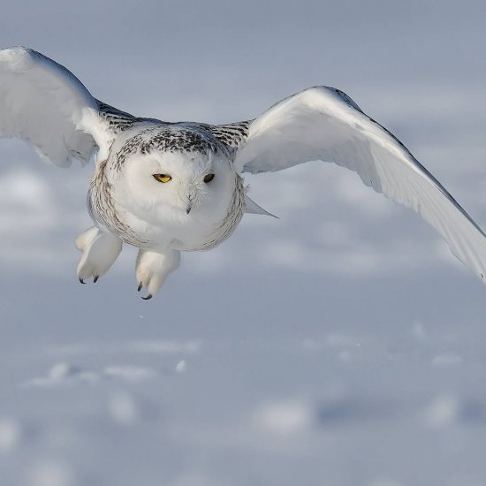 Climate change may be affecting the availability of the Snowy Owl's prey © Francais Cadien