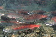 Sockeye Salmon (Oncorhynchus nerka) Photo: Barrie Kovish