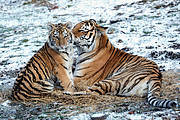 Amur Tiger Cub and Mother in Snow (Photo: Julie Larsen Maher © WCS)