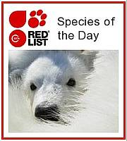 IUCN Red List Species of the Day. Photo © K. Pintus.