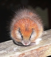 Red-Crested Tree Rat (photo © Lizzie Noble/ProAves www.proaves.org)
