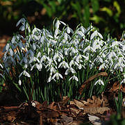 Common Snowdrop (Galanthus nivalis) Photo © R. Wilford