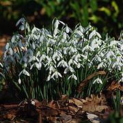 Common Snowdrop (Galanthus nivalis) Photo © R. Wilford