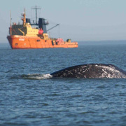 Western Gray Whale and ship (Photo © Dave Weller)