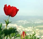Ranunculus coronaria. Palestine Photo: B. Al-Sheik