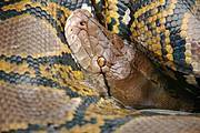 The study raises concern over the international trade in python skins. Photo: IUCN Boa and Python Specialist Group (BPSG)