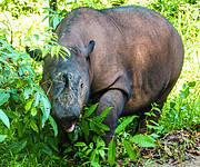 Sumatran Rhino Photo: Bibhab Talukdar