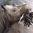 Sumatran Rhino Photo: David Ellis CC BY-NC-ND 2.0