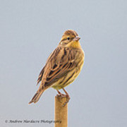Yellow-breasted Bunting. Photo: 57Andrew (CC BY-NC-ND 2.0) https://creativecommons.org/licenses/by-nc-nd/2.0/