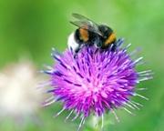 Bumblebee. Photo: Pieter van Marion (CC BY-NC 2.0)