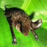 Eastern Sucker-footed Bat Myzopoda Aurita, endemic to Madagascar (photo: Paul A. Racey)