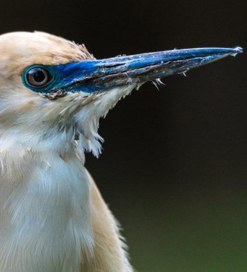 The Madagascar Pond-heron (Endangered) finds refuge in the reserve - for now © Hanjo Hellman