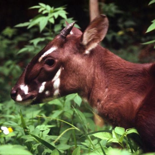 Saola. Photo: © David Hulse/WWF