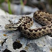 The Karst Viper (Vipera ursinii macrops) Photo: Ivona Burić