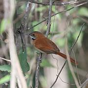 Hoary throated Spinetail (Synallaxis kollari) Photo: Mikael Bauer