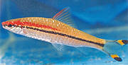 Red Line Torpedo Barb (Puntius denisonii) Photo: A. Gopalakrishnan