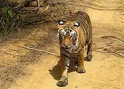 Tiger in Ranthambore National Park in India Photo: James Kemsey