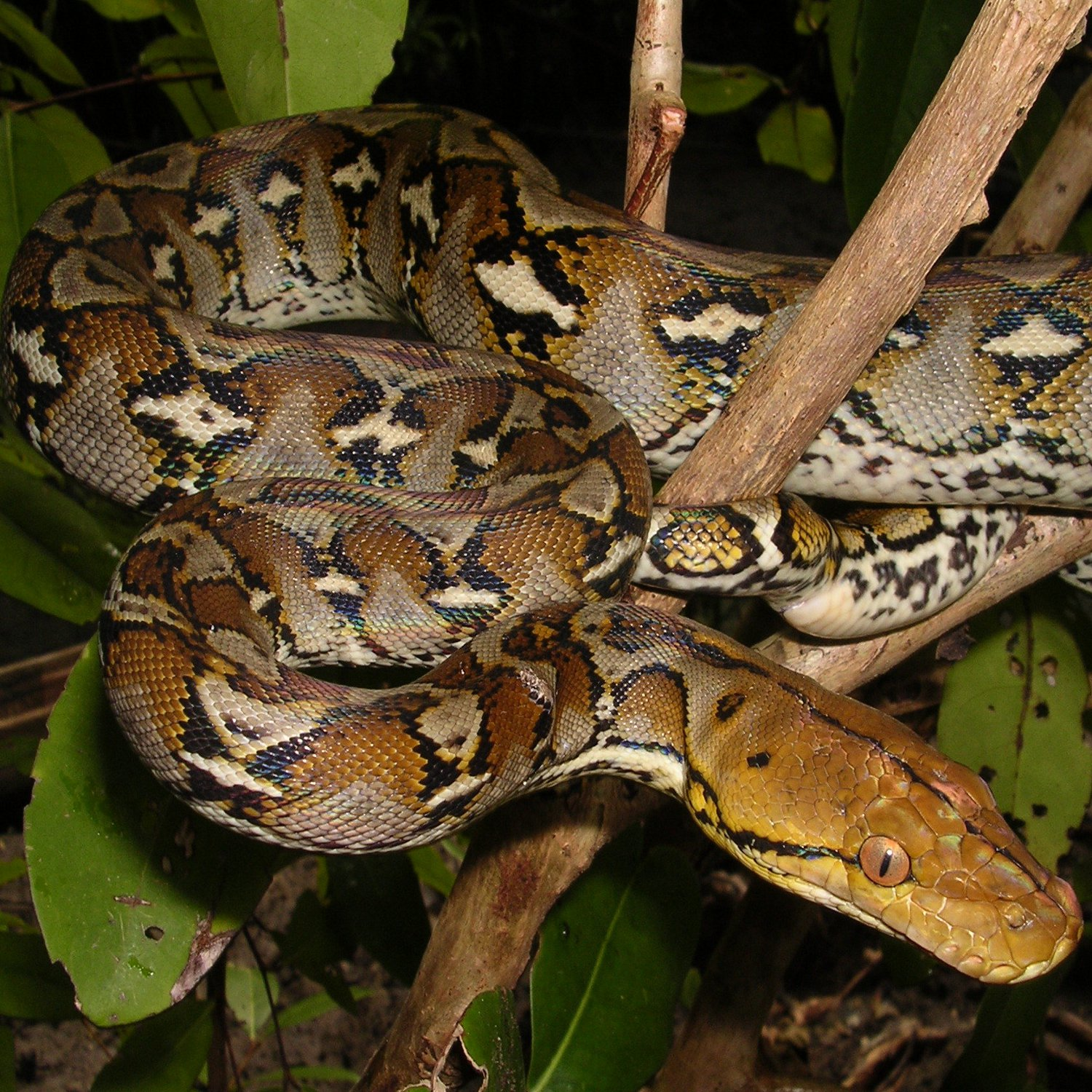 Reticulated Python (Broghammerus reticulatus). Photo: Bjorn Lardner