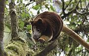 Tree Kangaroo Photo: Bruce Beehler