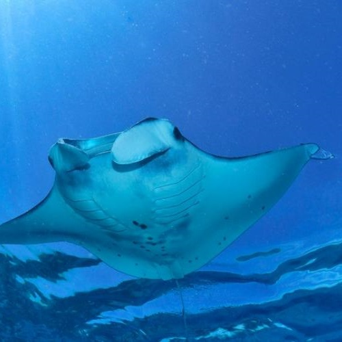 Manta ray. Photo: IUCN Photo Library / © Jean-Louis Ferretti.