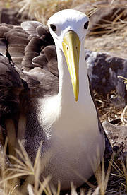 Waved Albatross (Phoebastria irrorata) Photo: Rod Mast