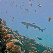 Whitetip Reef Shark over Palau coral reef (photo © Jerker Tamelander)