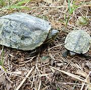 The Balkan Terrapin (Mauremys rivulata) Photo: Ana Štih