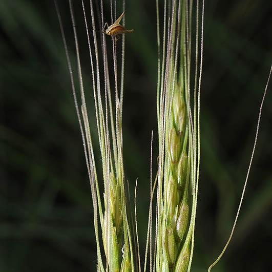 Aegilops sharonensis_© Ori Fragman-Sapir