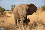 African Elephant (Loxodonta africana) Photo: Esther Birchmeier