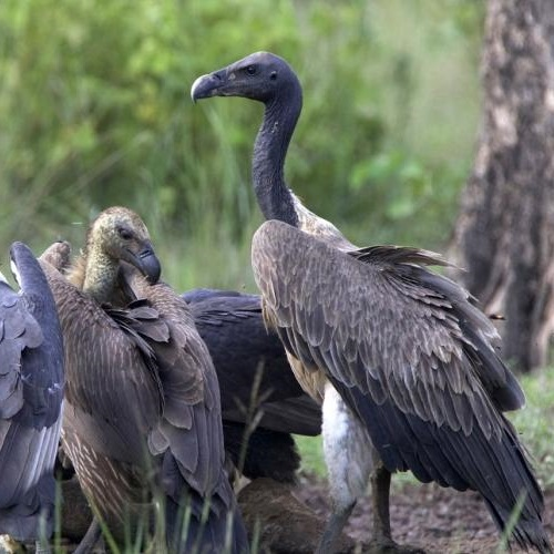 Vultures feeding on animal carcasses at a vulture resturant in Cambodia. Photo: NatureLife Cambodia).