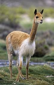 Vicuna (Vicugna vicugna) Least Concern. Photo © Chris Gomersal