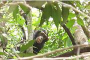 Young male chimpanzee Photo: Chimbo