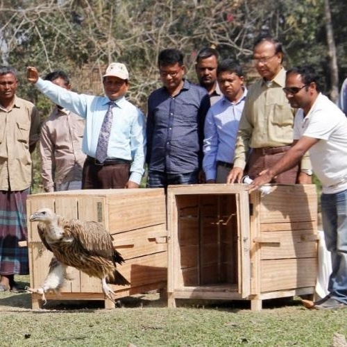 Vulture being released. Photo: © Sakib Ahmad/IUCN